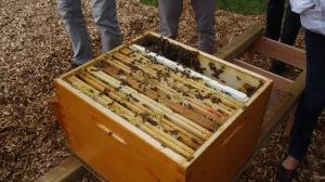Ouverture de la première ruche du rucher du Marillon