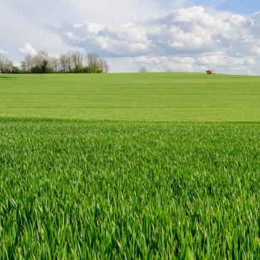 Champ de blé en Côte d'Or, Bourgogne,